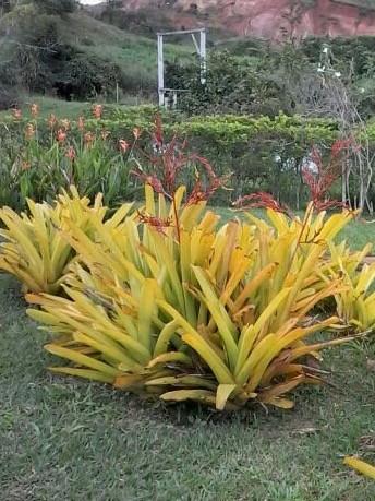 Foto 1 - Aechmea blanchetiana