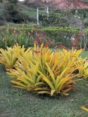 Foto1 - Aechmea blanchetiana