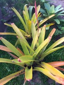 Foto3 - Aechmea blanchetiana