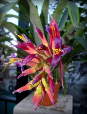 Foto1 - Bilbergia pyramidallis striata