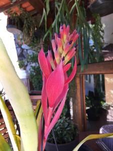 Foto3 - Bilbergia pyramidallis striata