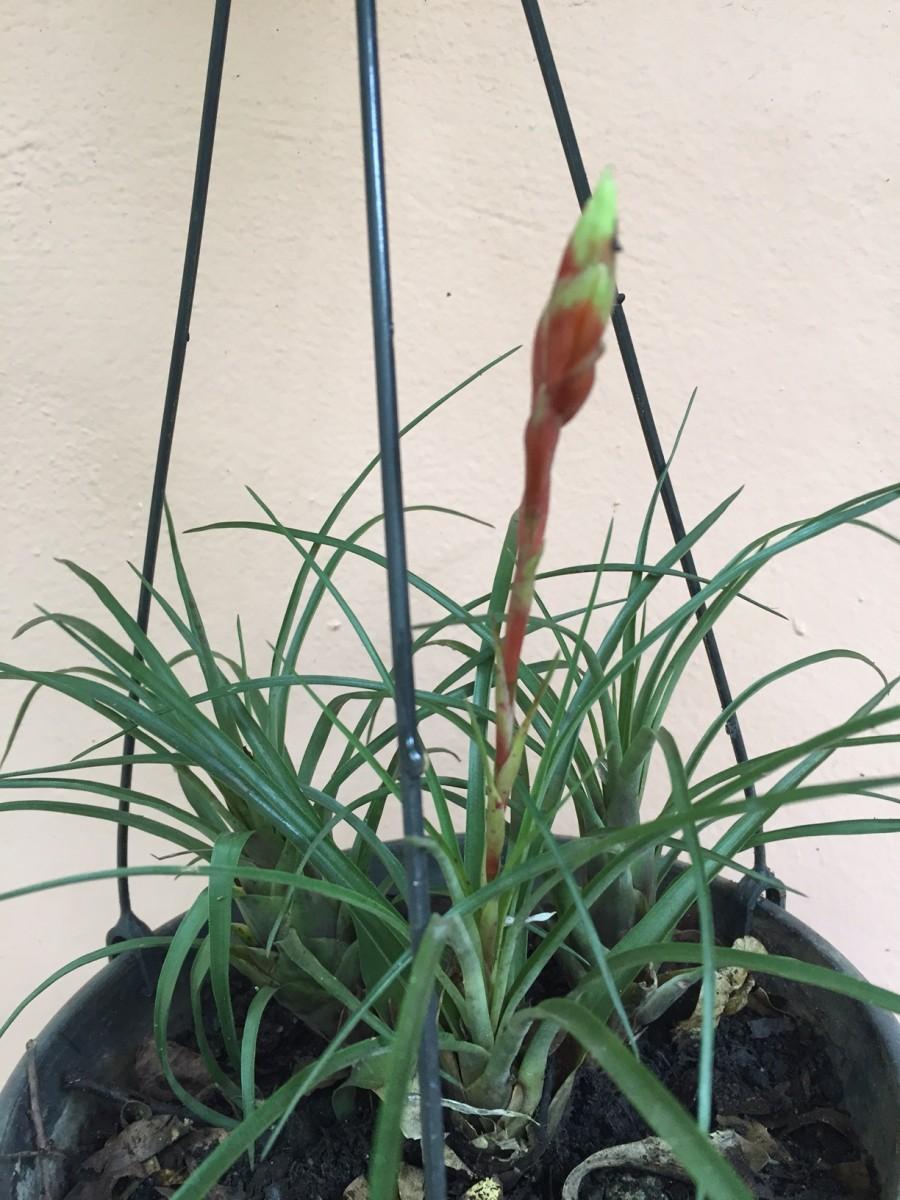Foto 1 - Vriesea flammea