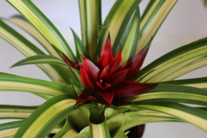 Foto2 - Guzmania minor variegata
