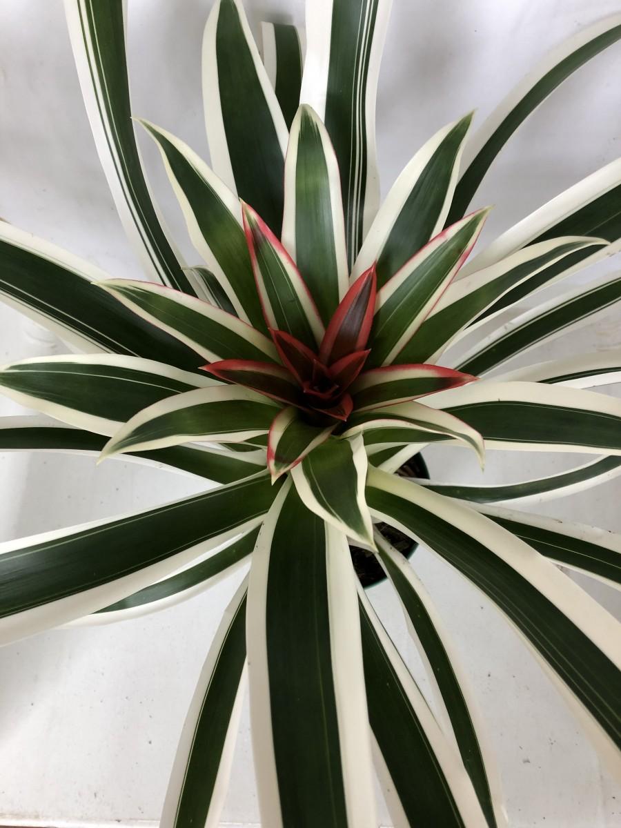 Foto2 - Guzmania lingulata albo-marginata
