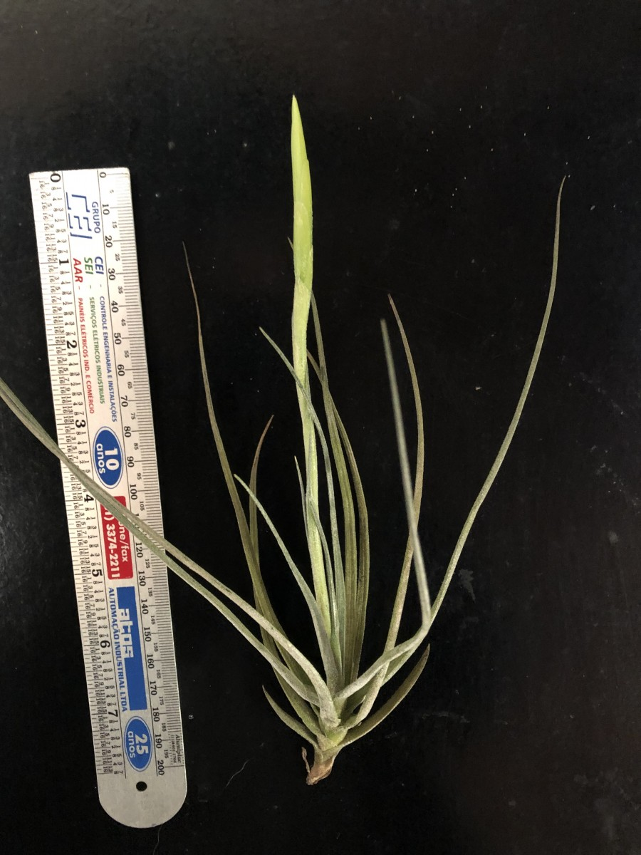 Foto 1 - Tillandsia sheideana prateda