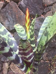 Foto1 - Vriesea splends