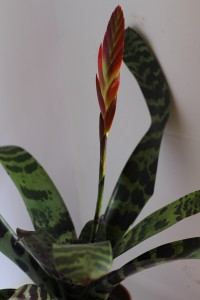 Foto2 - Vriesea splends