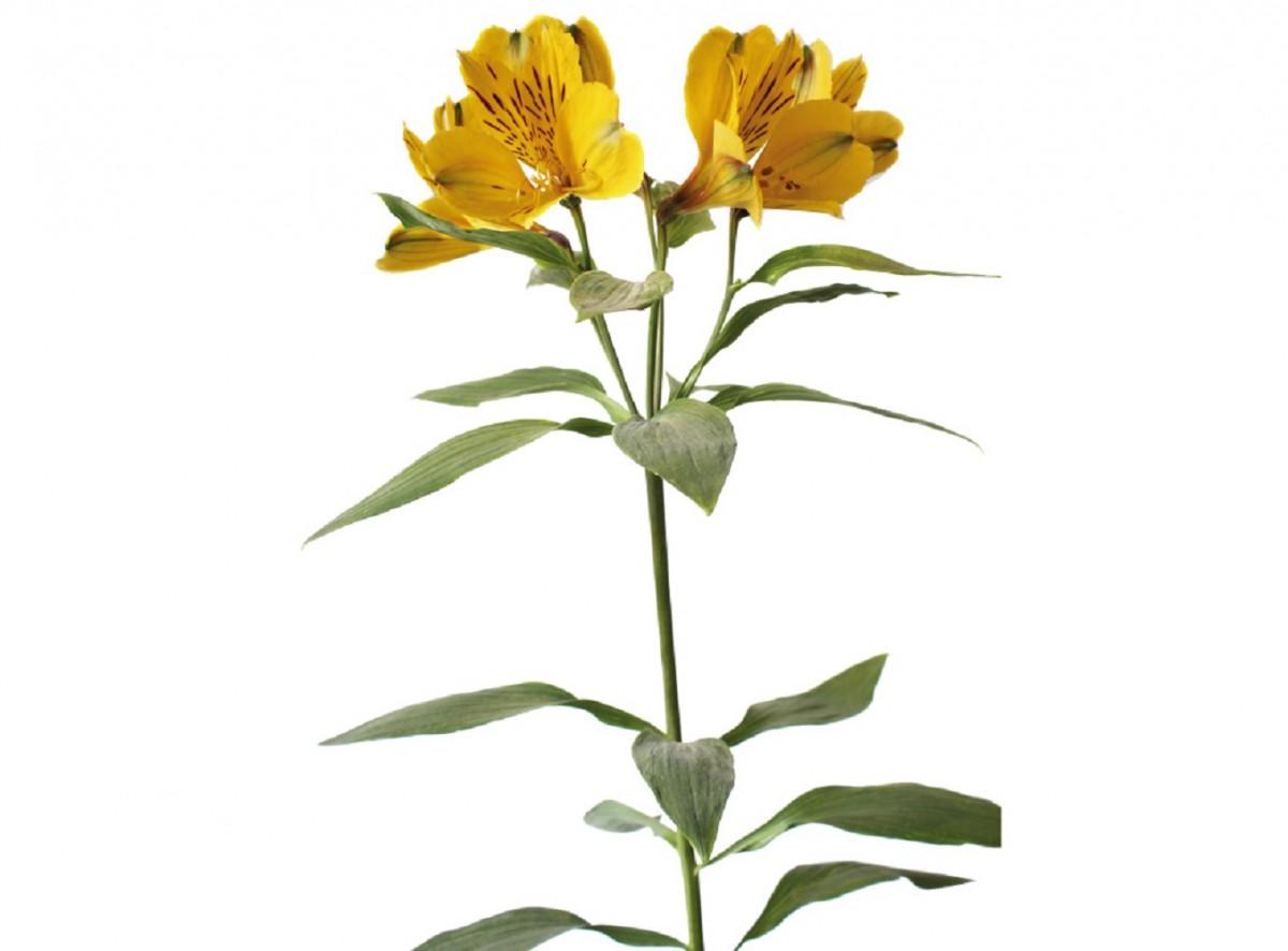 Foto 1 - Alstroeméria Amarela