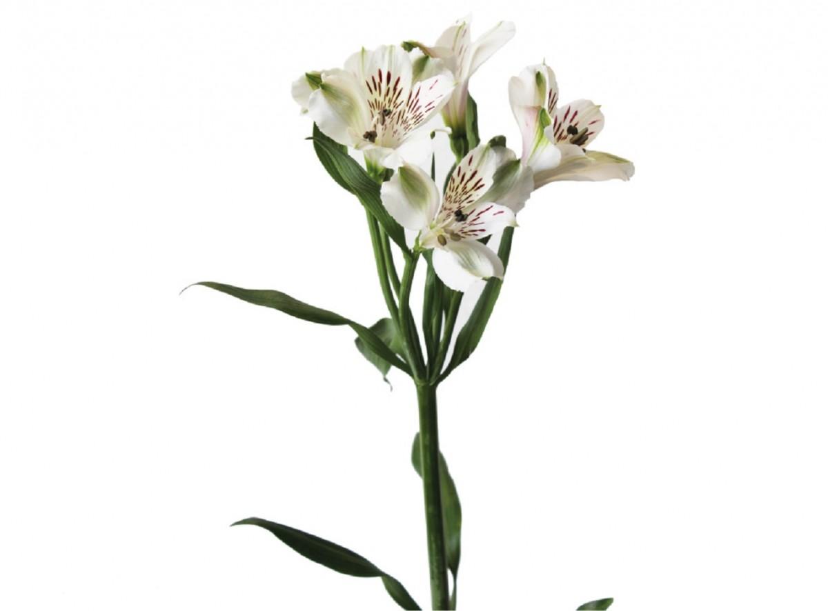 Foto 1 - Alstroeméria Branca