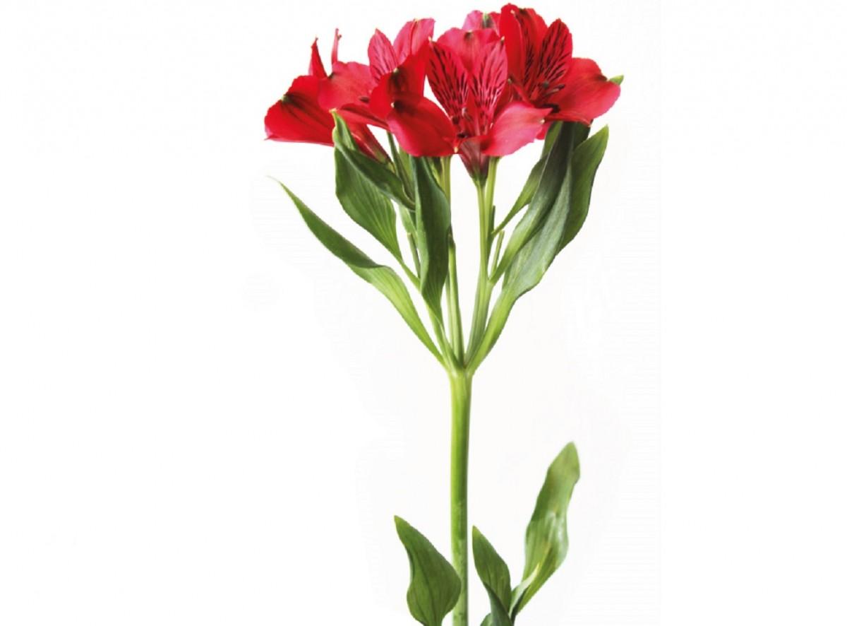 Foto 1 - Alstroeméria Vermelha