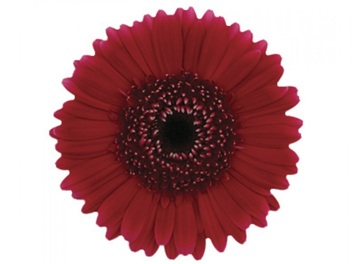 Foto 1 - Gerbera vermelha