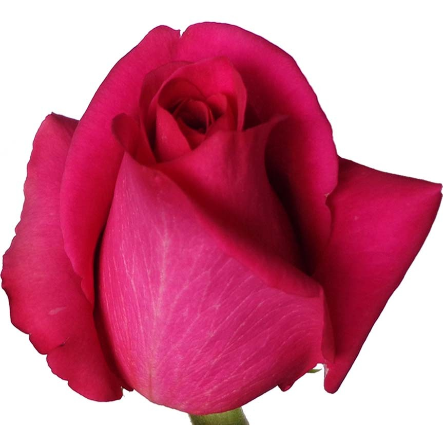 Foto 1 - Rosa Pink Floyd