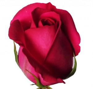 Foto2 - Rosa Pink Floyd