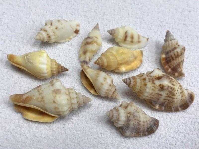 Foto 1 - Cód M2423 Conchas do mar diversas 05 un