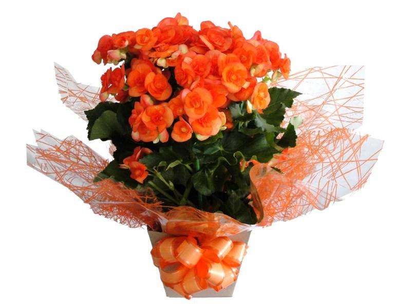 Imagem do produto Begonias