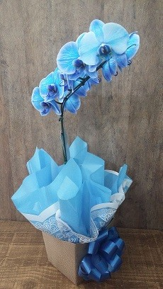 Foto 1 - Orquídea Phalaenopsis Azul