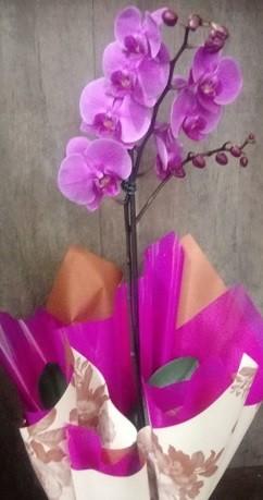 Foto 1 - Orquídea Phalaenopsis Lilás