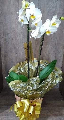 Foto 1 - Orquídea Phalaenopsis Branca