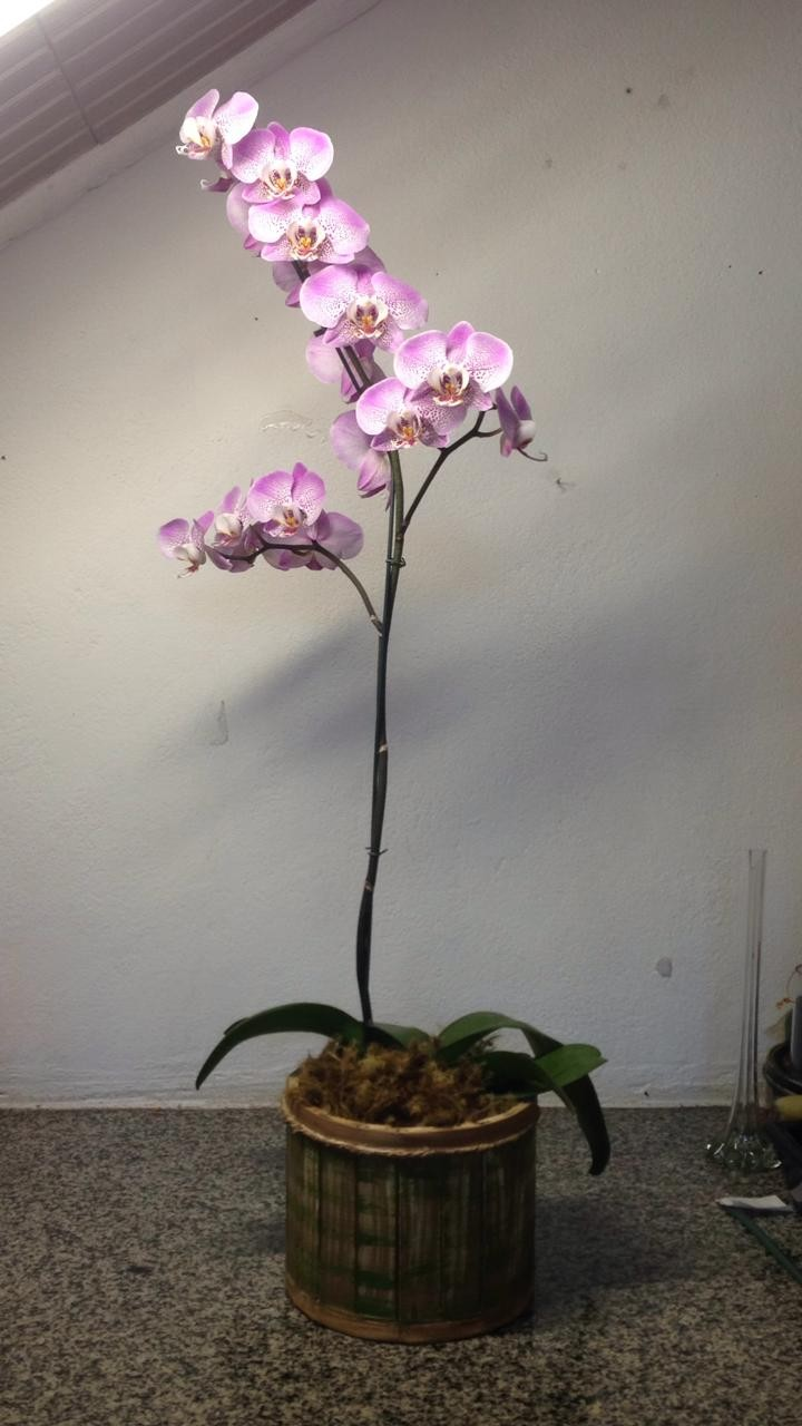 Foto 1 - Orquídea Phalaenopsi