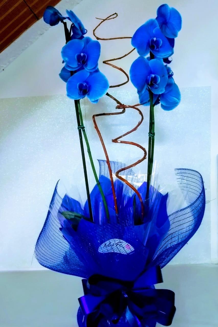 Foto 1 - Orquídea Phalaenopsis Azul Blue Mistique